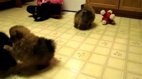 7 week pomeranian 2012 7 week pomeranian puppies