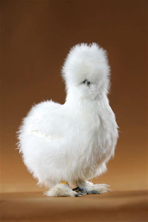 silky white silkie chickens on pinterest bantam chickens chicken