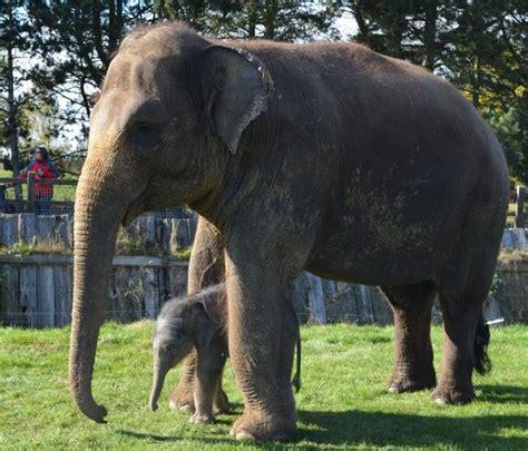 longest pregnancy recorded smallest baby elephant