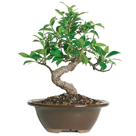 golden gate ficus bonsai tree 4 years 6 quot to 10 quot in