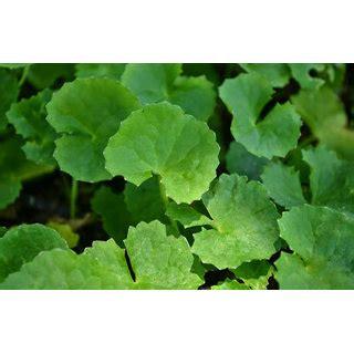 buy brahmi vallarai leaf powder  grams grams