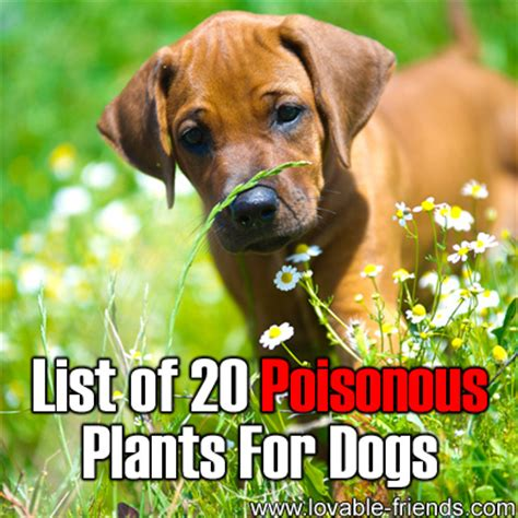 poisonous house plants to dogs 28 3 toxic houseplants for dogs jimboomba vet lists plants toxic to pets toxic
