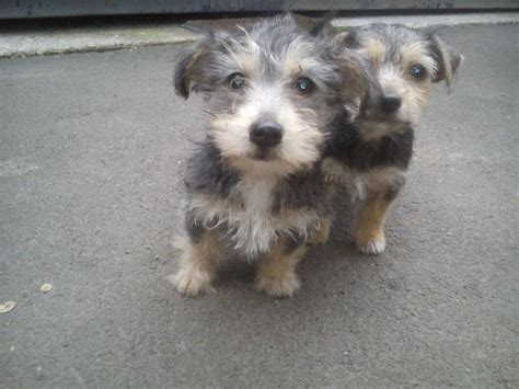 yorkie poo rescue uk yorkie poo puppies information pictures breeds picture