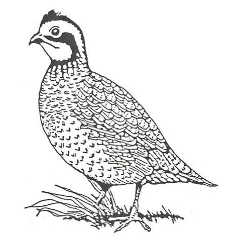 coloring pages quail click to see printable version of bobwhite quail coloring