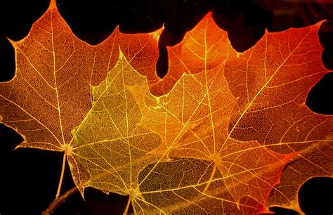 file maple leaf autumn jpg file maple leaf structure jpg wikimedia commons