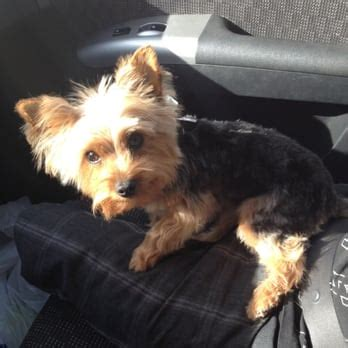 grooming my yorkie karabu pet grooming 17 photos pet groomers oak flower tucson az reviews yelp