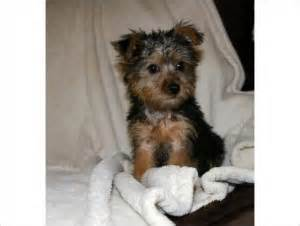 puppies columbia mo pets columbia mo free classified ads