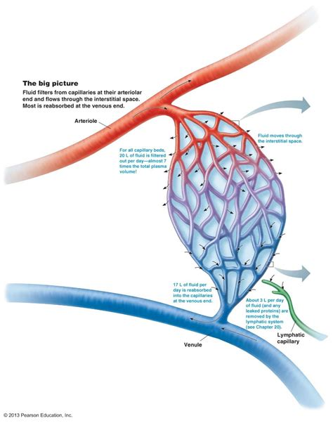 capillary bed definition capillaries circulatory system the cardiovascular system