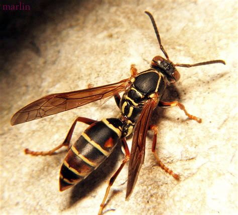 How To Make Paper Wasps - wasp bee pest canberra canberra pest