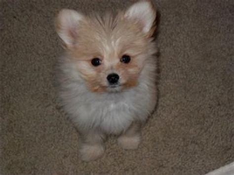 maltese and pomeranian mix puppies for sale maltese pomeranian mix puppies for sale zoe fans baby animals