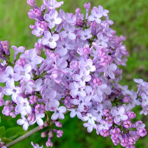 purple lilac fragrant purple lilac lilacs stark bro s