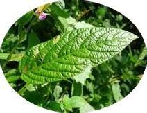 Bibit Tanaman Herbal Brotowali ciri fisik daun duduk tanaman bunga hias