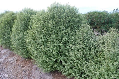 pittosporum screen  mm pot dawsons garden world