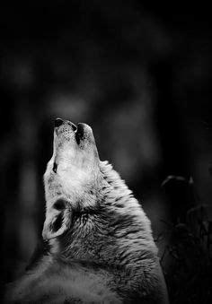 31 melhores imagens de Lobos | Lobo, Animais e Cães selvagens