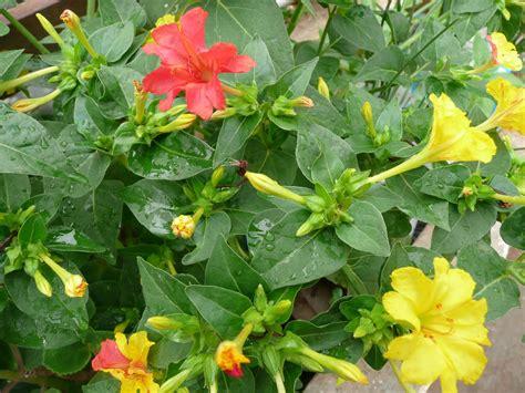 organic gardening four o clock flowers xplore xpress