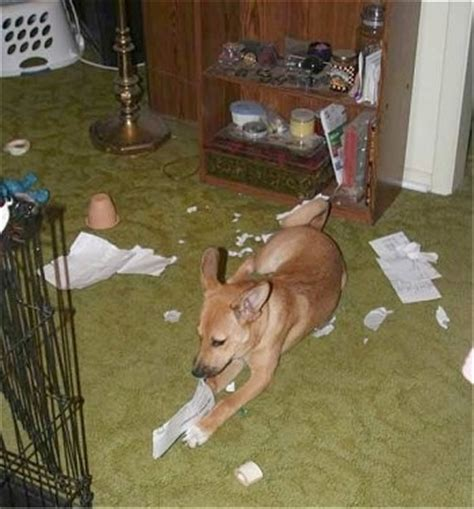 basenji puppies for sale nj basenji mix baby medium call the homeless pets images frompo