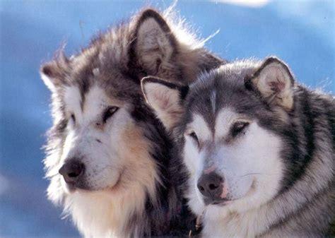 Alaskan Malamute On by Alaskan Malamute Razas Perros Mascotas