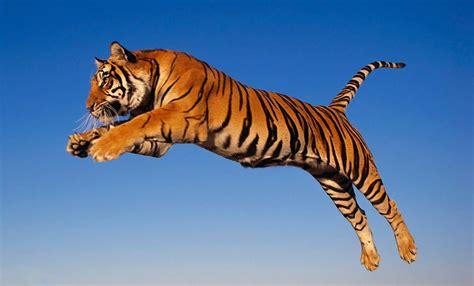 imagenes sorprendentes de tigres image gallery imagenes de tigres