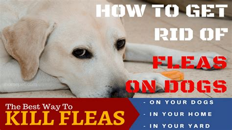 how to get fleas out of your house how to get fleas out of house 28 images how do you get fleas out of your house