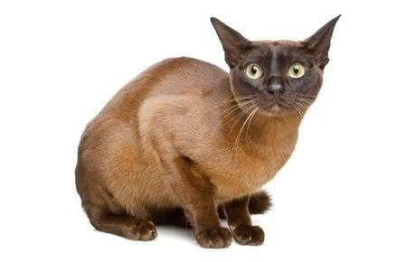 Cat That Sheds The Least by Top 17 Least Shedding Cat Breeds Cattime