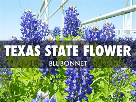 state flower of texas texas state flower and bird www pixshark com images