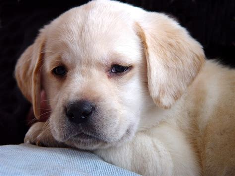 yellow labrador puppies barefoot labradors of killingworth yellow lab puppies yellow lab puppy 6