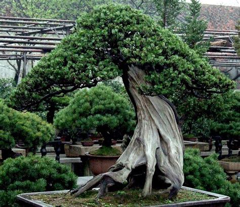 old bonsai tree 15 most awesome bonsai trees on earth air purifier reviews