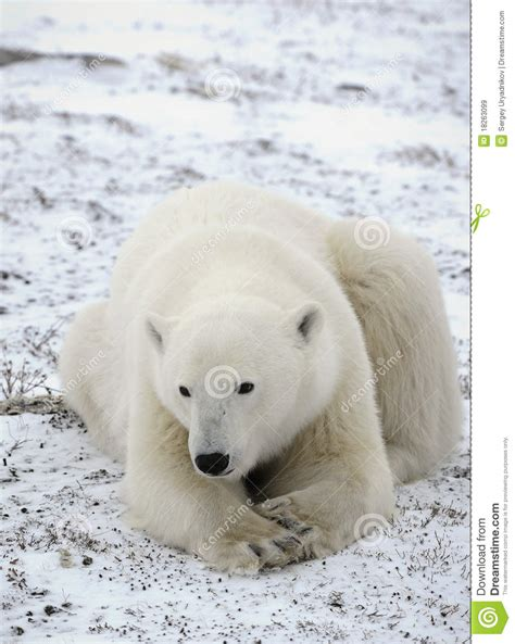 portrait of a polar royalty free stock images image 18263099