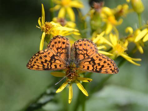 wallpaper bunga dan kupu kupu gambar alam sayap margasatwa jeruk serangga botani