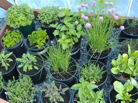 where to buy herb plants how to buy herb plants from local nursery store