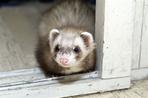 Small Spaces Kitchen Ideas by Ferret Care Facts Guide