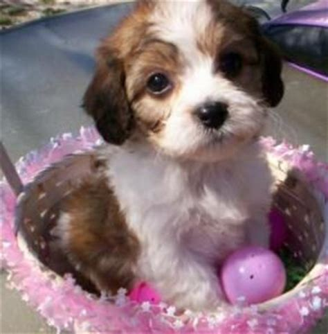 cavachon puppies ohio 43 best images about puppies on lab puppies yorkie and westie puppies