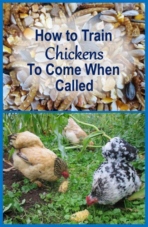 how to a to come when called how to chickens to come when called