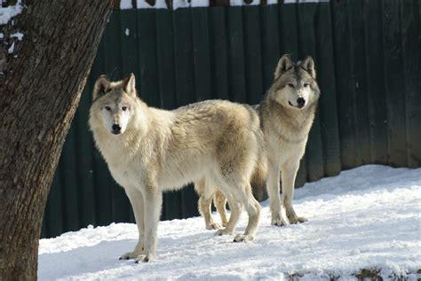 el lobo de los 1519600925 lobo de alaska con un aspecto muy parecido a un husky el lobo 225 rtico canis lupus arctos es un