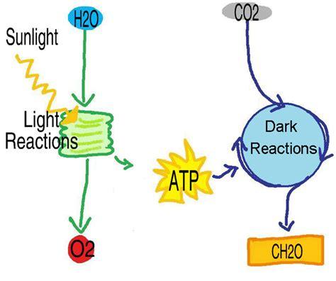 Light Reactions Of Photosynthesis by Science Education Resources Recursos Educativos En Cc