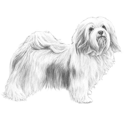 havanese dog coloring page havanese dog breed information american kennel club