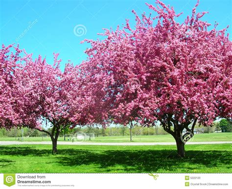 pink trees in bloom stock photo image 5222120