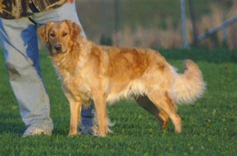 field line golden retriever top flight golden retrievers golden retriever puppies breeders wisconsin