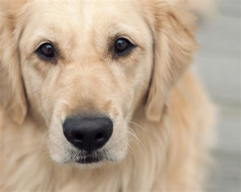 golden retrievers information 10 golden retriever facts that will make you want one immediately huffington post