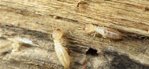 traitement termites jardin devis traitement contre les termites 3 devis gratuits