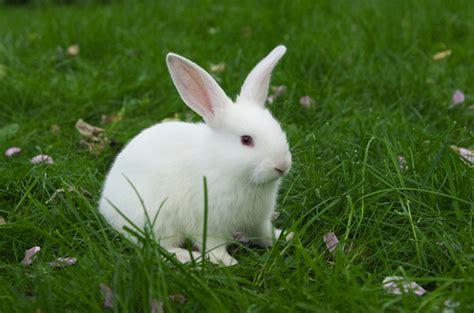 rabbit images florida white rabbit