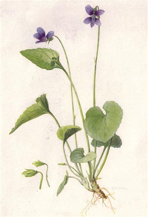 file violet ngm xxxi p505 jpg wikimedia commons