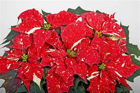 1000 images about poinsettia s on pinterest spotlight