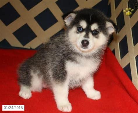 pomeranian breeders in kansas the 25 best pomeranian husky for sale ideas on