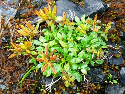 Did K Fed Plant One Last Seed by Aleutian Cress Relocated On The Chugach National Forest