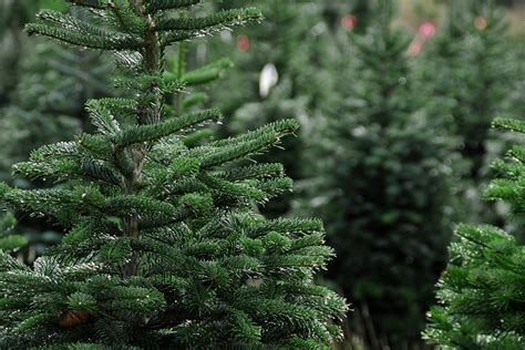 best real christmas trees by me home ri tree growers association