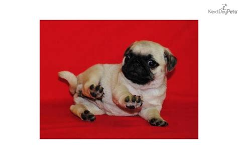 sassy pug pug dogs puppies names breeds and grooming breeds picture