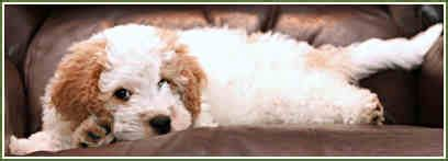 mini goldendoodles houston timshell farm goldendoodle puppy buddy