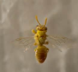 Yellow Bee adorable small light yellow bee perdita bugguide net