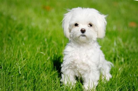 white maltese puppy maltese dogs 6 popular haircut styles and colors